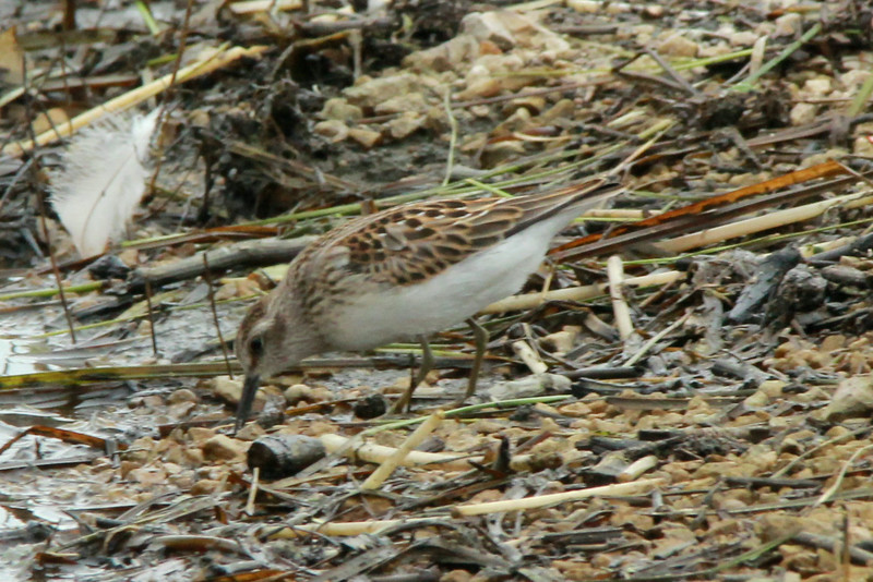 Least Sandpiper @ Clarence Cannon NWR