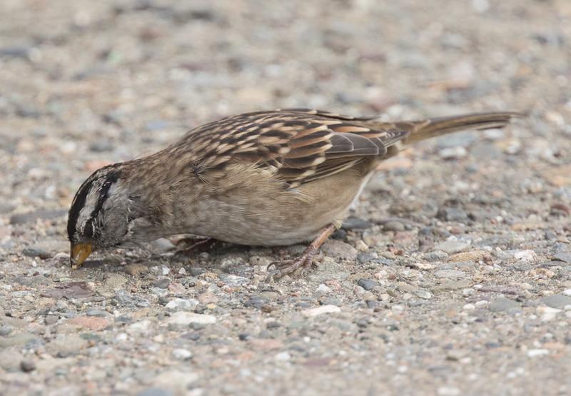 White-crowned Sparrow {Nuttels)Drakes Beach 2018 09 18-2.jpg