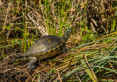 Florida Red-bellied Turtle