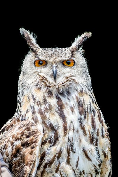 Face close-up of an Eurasian eagle-owl