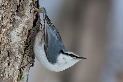 Nuthatches and Treecreepers