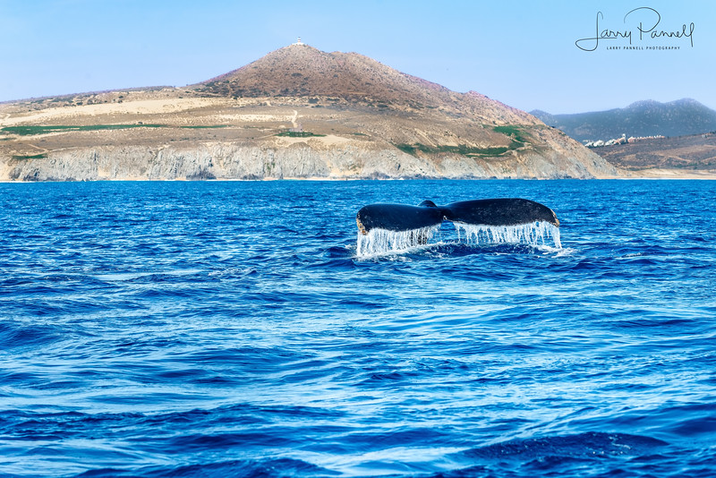 California Gray Whale Tail - Cabo