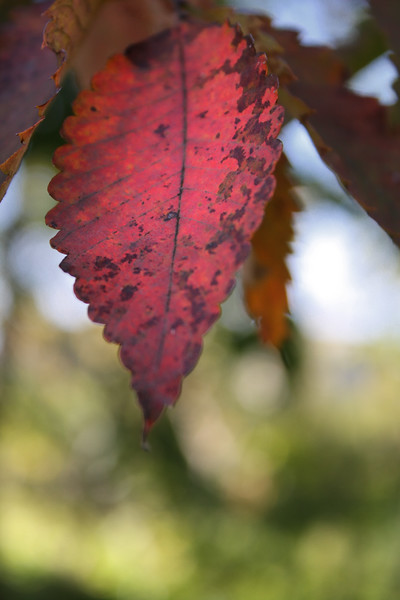 Japanese Leaf