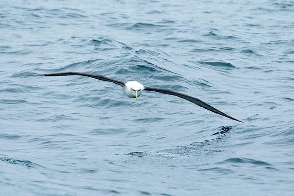 20170406 Albatrosses at Stewart Island _JM_3755 a.jpg
