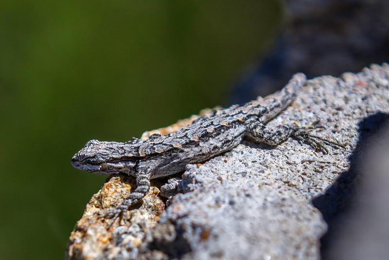 rock lizard 2.jpg