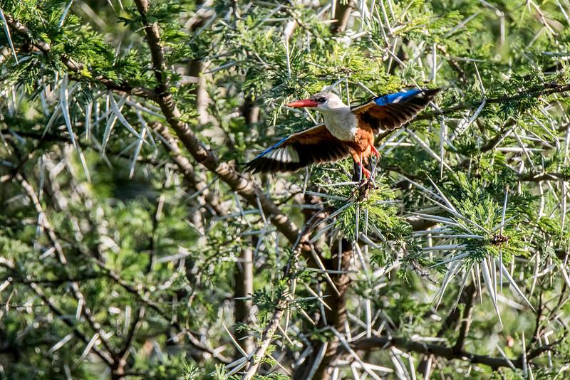 Grey-headed kingfisher, Halycon leucocephala, Samburu-1.jpg