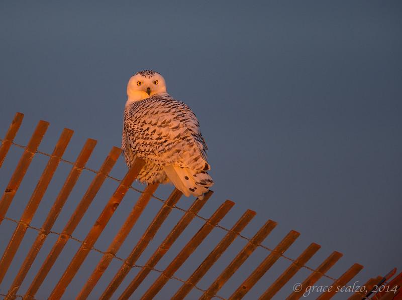 Snowy Owl on Fence_O8U7622.jpg