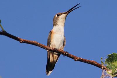 Rufous Hummingbird imm. fem.