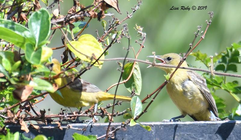 Juvenile Hooded Oriole - 6/15/2019 - Sabre Springs Backyard