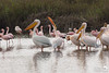 Great White Pelicans mingle with Flamingos
