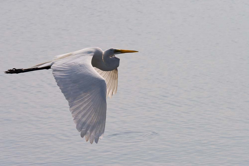 Great Egret looking for a spot to land