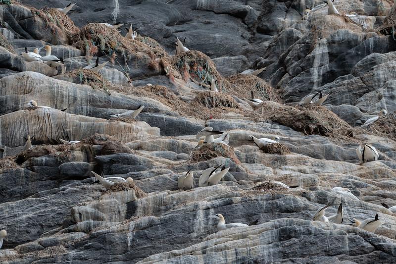 głuptak | northern gannet | morus bassanus