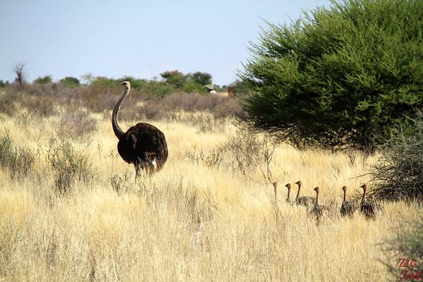 Game drive Kalahari desert, Namibia: ostrich family