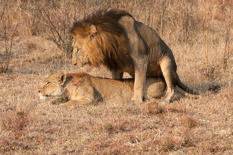 Mating Lions Lowveld