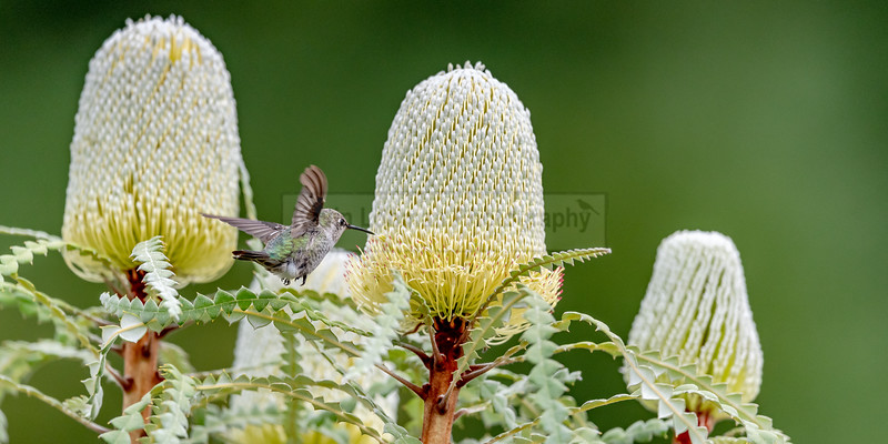 Anna's Hummingbird with three Banksia