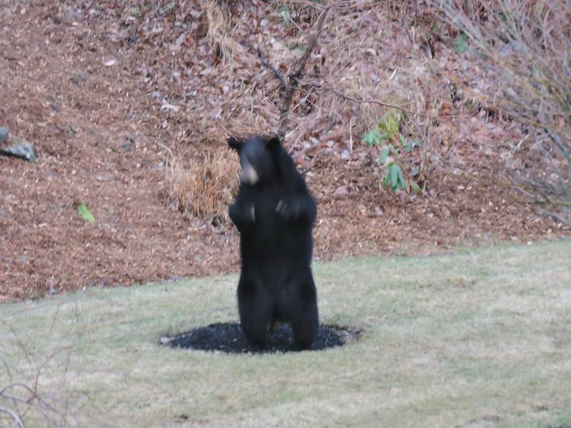 Bear Scratching on Tree-DSCN1954 (37 of 39)-005.jpg