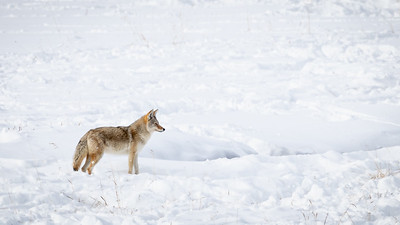 Yellowstone  January 2020 Muench WS