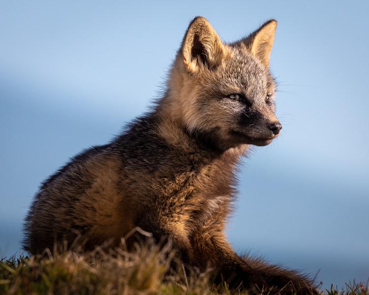 arctic fox close up -3542.jpg