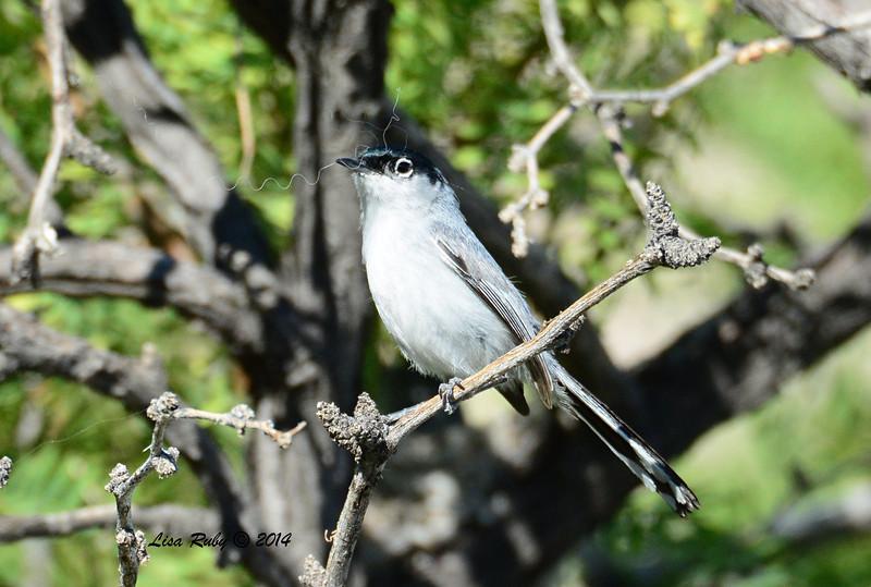 Black-tailed Gnatcatcher - 4/6/2014 - Agua Caliente County Park, San Diego