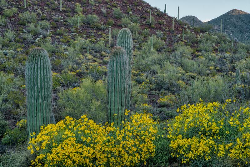 Saguaro NP 2020-2.jpg
