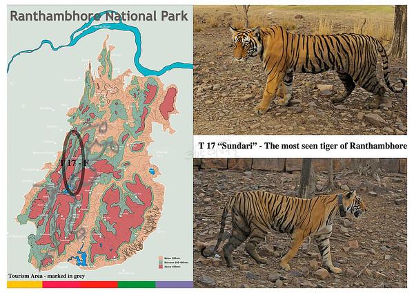 T 17 Ranthambhore tiger