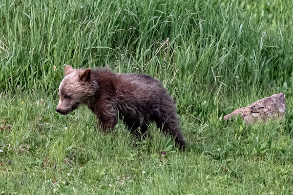 7-21-20 Grizzly Mom & 3 Cubs KC
