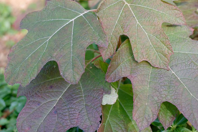 Hydrangea - Oak Leaf (1).jpg