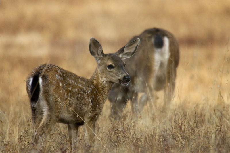 Blacktailed deer fawn, Point Reyes, 8/10