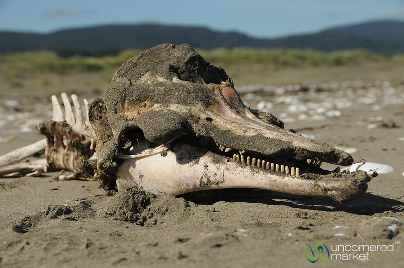 Dolphin Skull - Chiloe Island, Chile