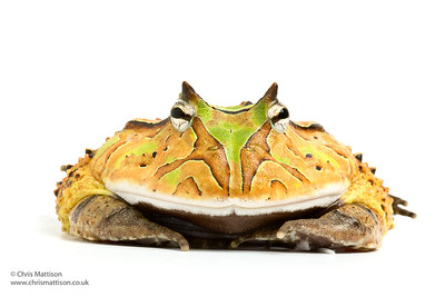 Frogs and Toads: White backgrounds