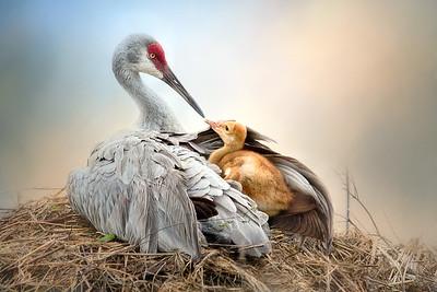 2016 Sandhill Crane Families