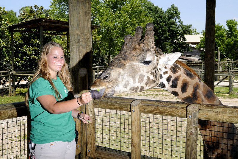 A zoo employee feeds a giraffe at the Knoxville Zoo in Knoxville, TN on Saturday, June 7, 2014. Copyright 2014 Jason Barnette