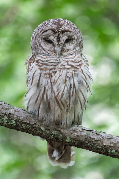 #744 Barred Owl