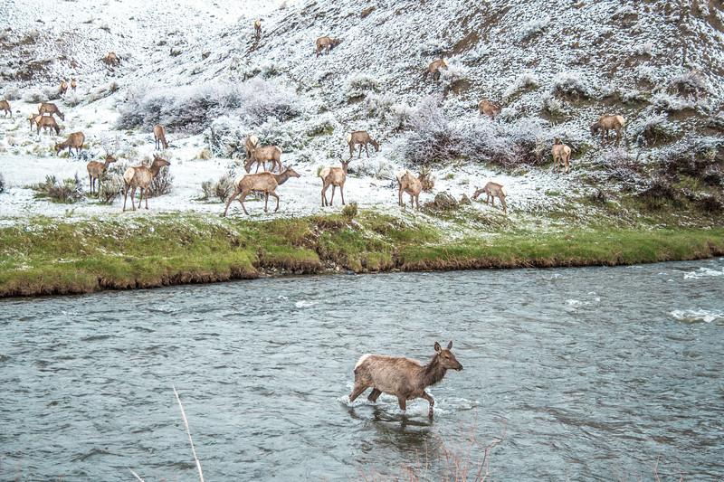 Elk herd Yellowstone National Park WY DSC04788.jpg