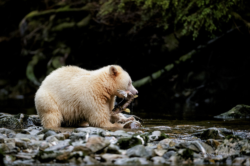 20150930-_G7Q8097Spirit-Bears-British-Columbia-Recovered.jpg