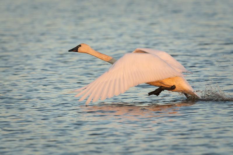 Trumpeter Swan Take Off.jpg