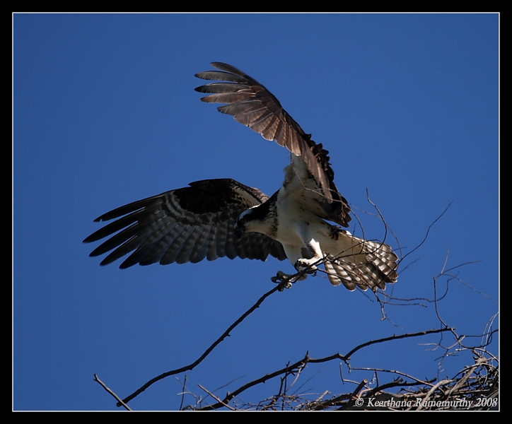 Osprey with nesting material, Robb Field, San Diego County, California, December 2008