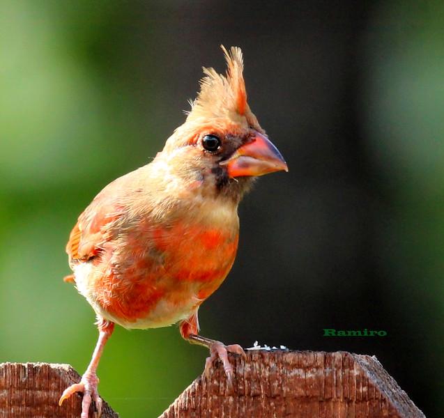 Cardinal 6-16-15 006.jpg