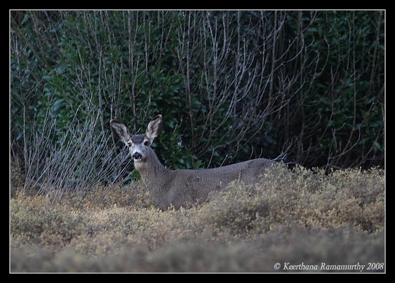 Mule Deer Female, San Elijo Lagoon, El Camino Real Trail, San Diego County, California, December 2008