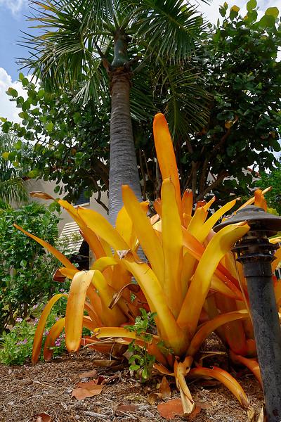 Big Orange Sun Bromeliads