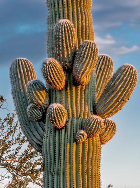 I-11 - Saguaro With Budding Arms #2