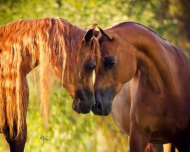 Oneill Arabians