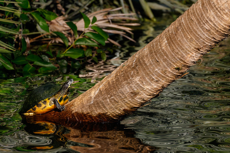 Red-Bellied Cooter-5429.jpg