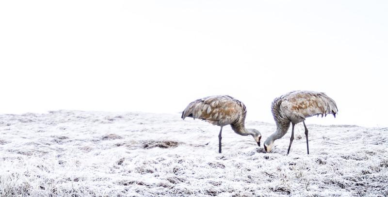 Sandhill Crane pair frosty meadow Yellowstone National Park WY IMG_6091.jpg