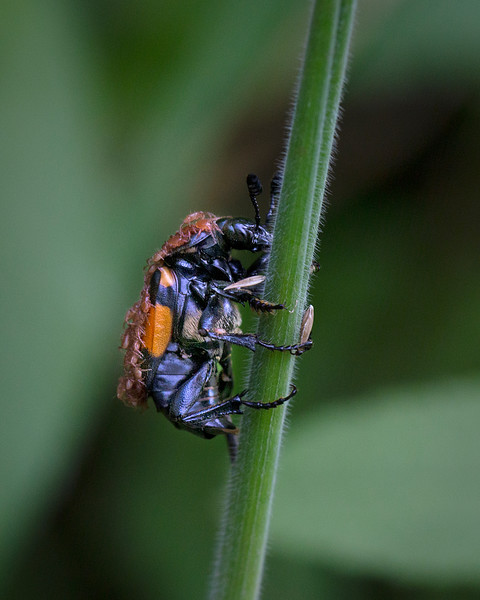 Common sexton beetle and mites