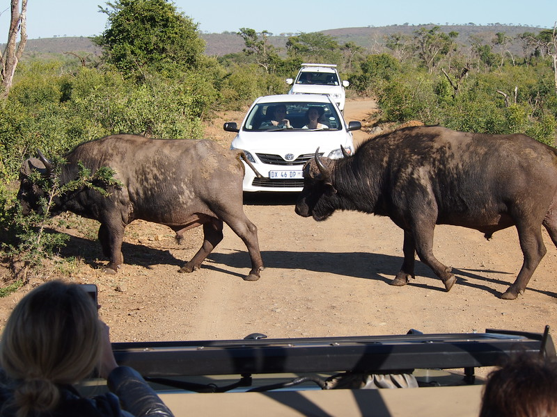 P5056381-buffalo-crossing.JPG