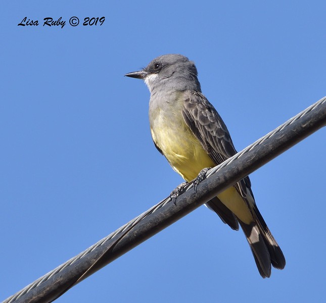 Cassin's Kingbird  - 11/10/2019 - Garden and Sycamore Canyon Roads