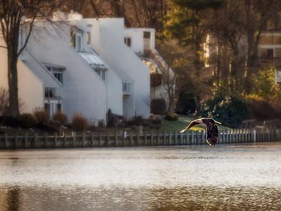 Eagles Over Wilde Lake