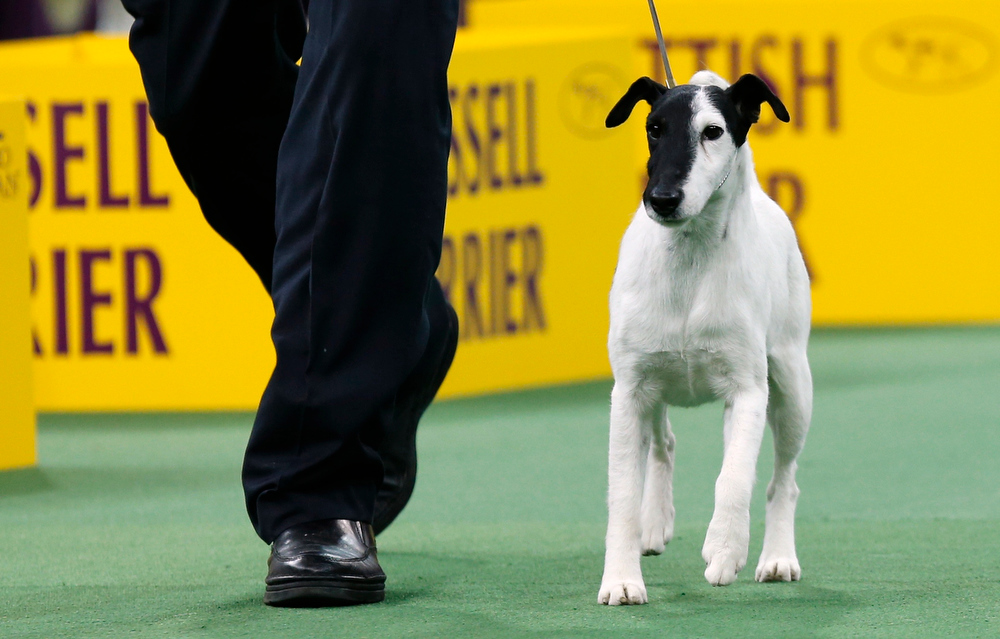 Description of . Handler Edward Boyse walks Adam, a Smooth Fox Terrier, during competition in the Terrier Group at the 137th Westminster Kennel Club Dog Show at Madison Square Garden in New York, February 12, 2013. Adam won the Terrier Group and advances to the Best in Show competition. REUTERS/Mike Segar