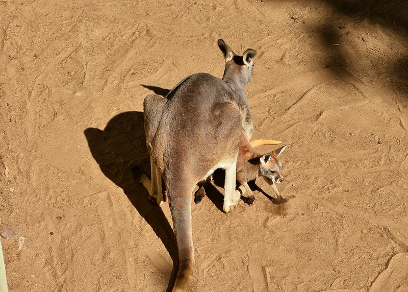NEA_0671-7x5-Baby Kangaroo.jpg